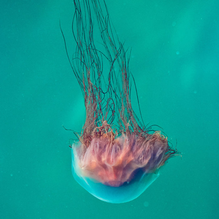Jellyfish Retouched